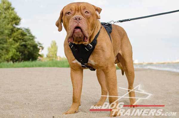 Professional Dog Training Harness for Dogue-de-Bordeaux