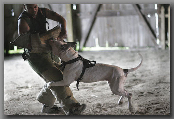 Doom in Padded Harness for American Bulldog Agitation Work