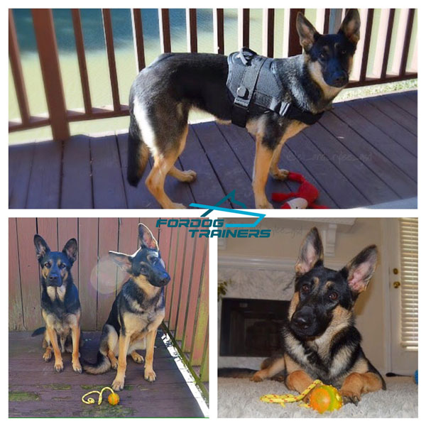 Eli and Rylee Present Nylon Harness for German Shepherds