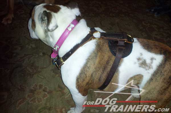 Leather English Bulldog Harness with brass hardware