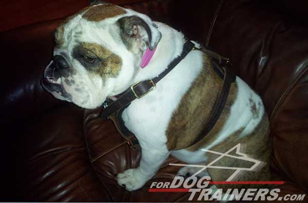 Quality Leather English Bulldog Harness