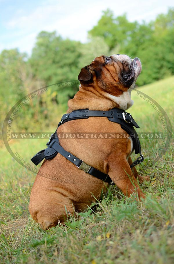 Leather English Bulldog Harness with handle