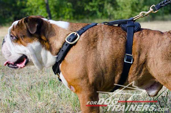 Tracking Leather English Bulldog Harness