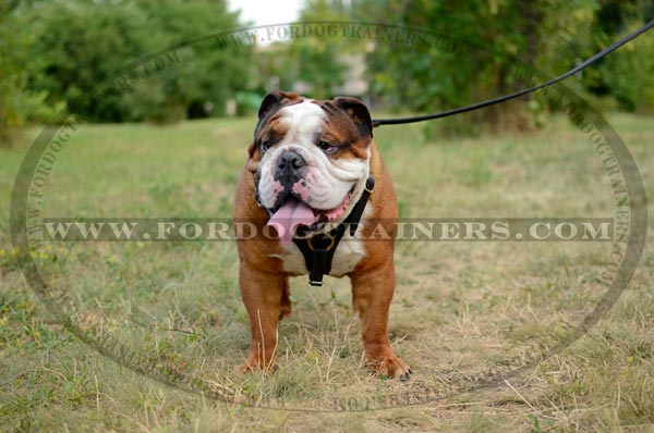 Walking Leather English Bulldog Harness