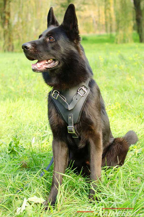 Walking German Shepherd Harness Leather with Padded Chest