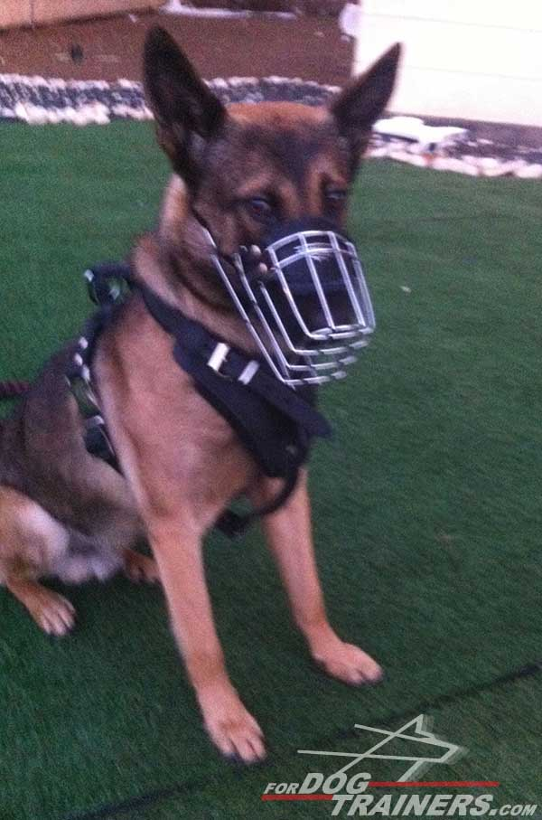 Training German Shepherd Harness and Muzzle