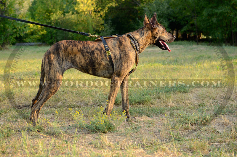 Design Leather Harness for Great Danes and Other Large Breed Dogs