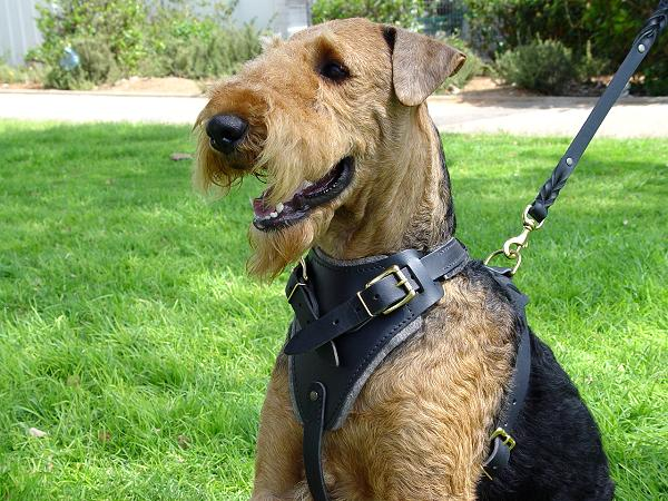 Leather Airedale Terrier Harness for Training Sessions