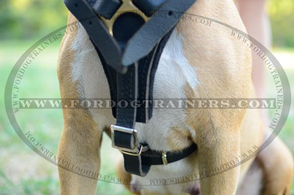 Padded Chest Plate on Leather Harness for Training