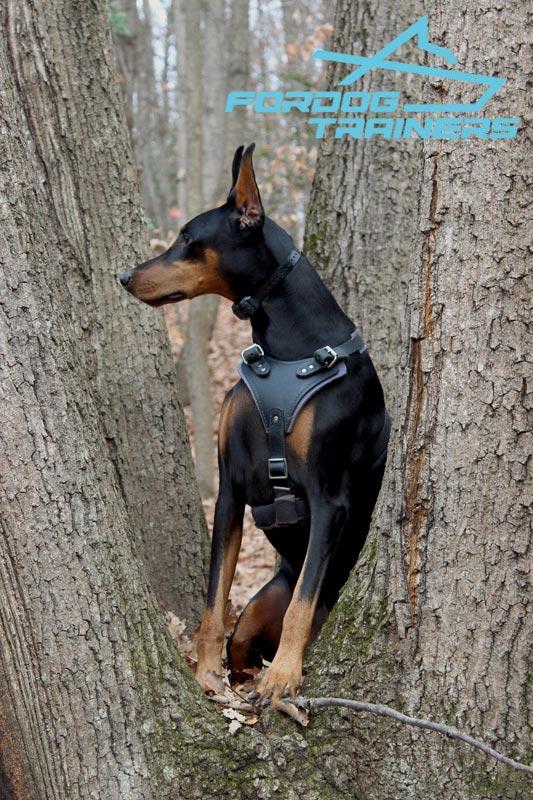 Ripley Looks Kingly In Leatherdog Harness For Doberman