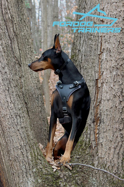 Padded Leather Doberman Harness for Daily Ripley Walking