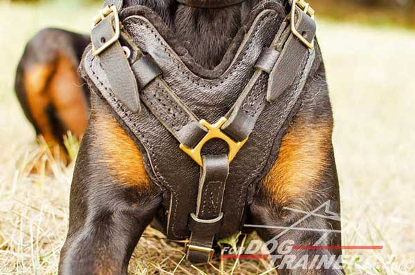 Wide breast plate decorated leather Doberman harness