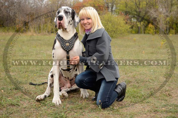 Wide chest plate decorated with studs and luxury medallion for Great Dane harness