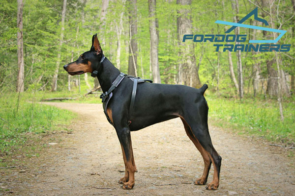 Leather Doberman Leather Harness - Comfortable and Easy to Adjust