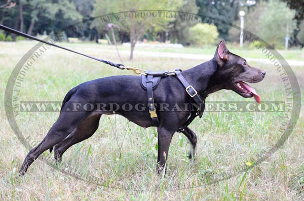 Elegant design leather harness for Pitbull