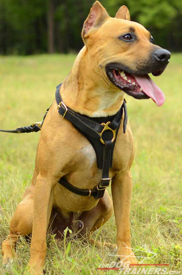 Tracking leather Pitbull harness with soft padded chest plate
