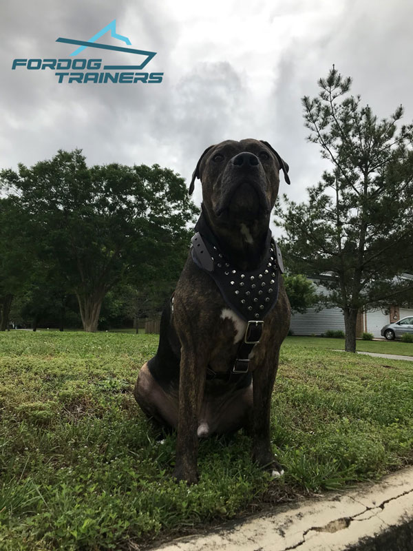 Leather Pitbull Harness with Fashionable Decoration