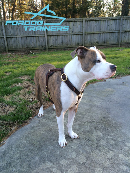 Brass adjustable buckles for leather Pitbull harness