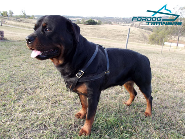 Adjustable leather Rottweiler harness for comfortable control