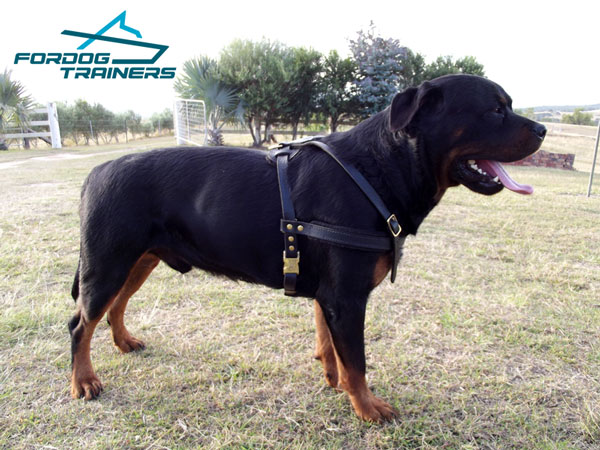 Durable leather Rottweiler harness for Heimy