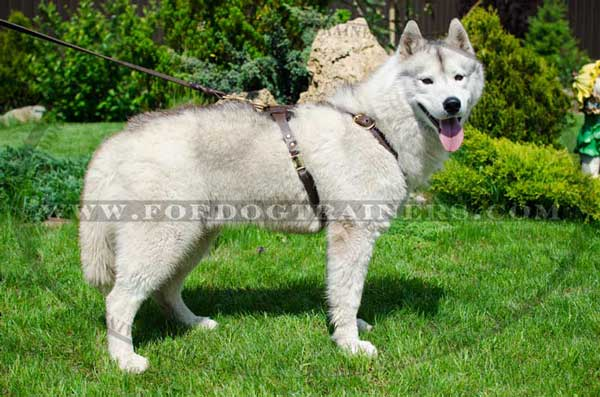 Elegant leather harness without chest plate for Siberian Husky
