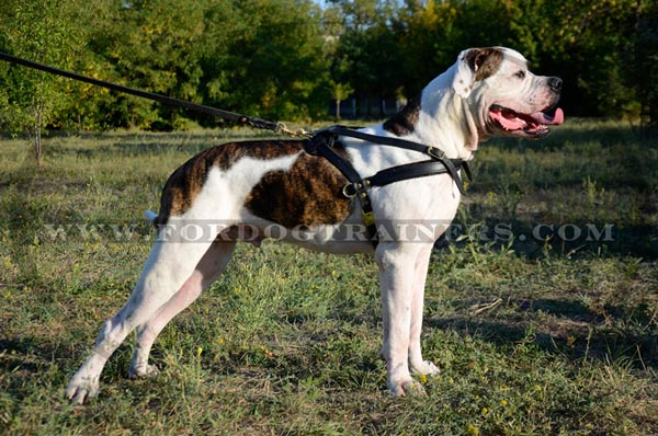 American Bulldog harness with wide leather straps