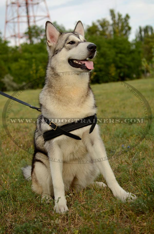 Leather Malamute Harness with wide chest strap