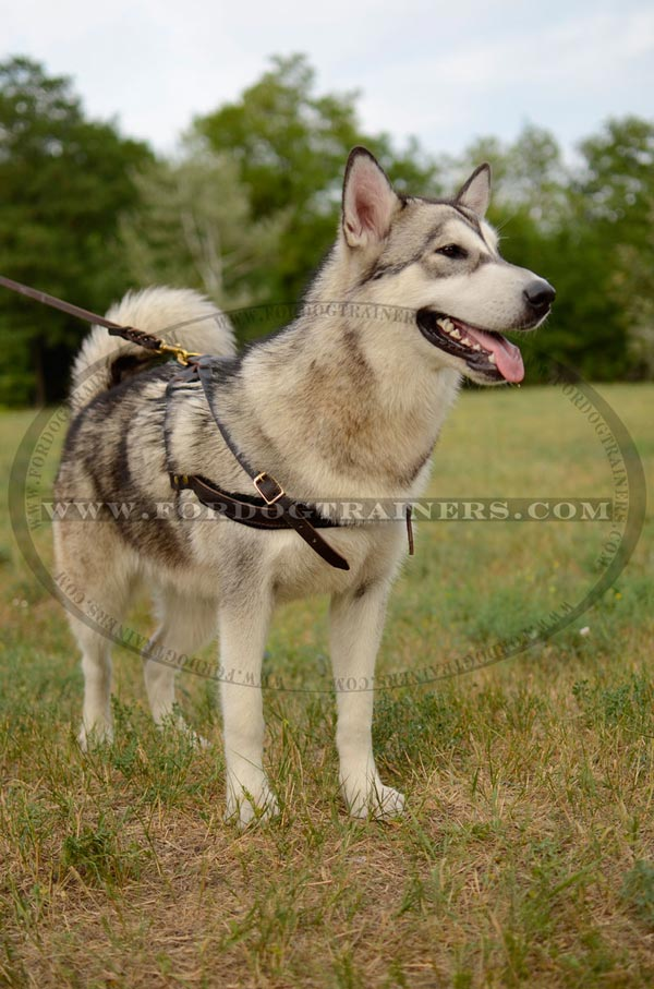 Pulling Leather Malamute Harness