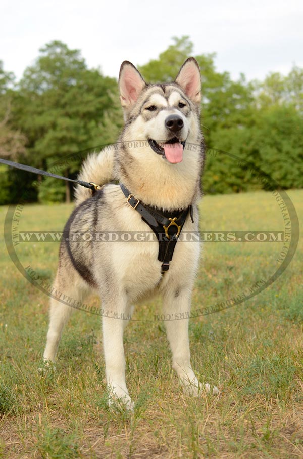 Training Leather Malamute Harness