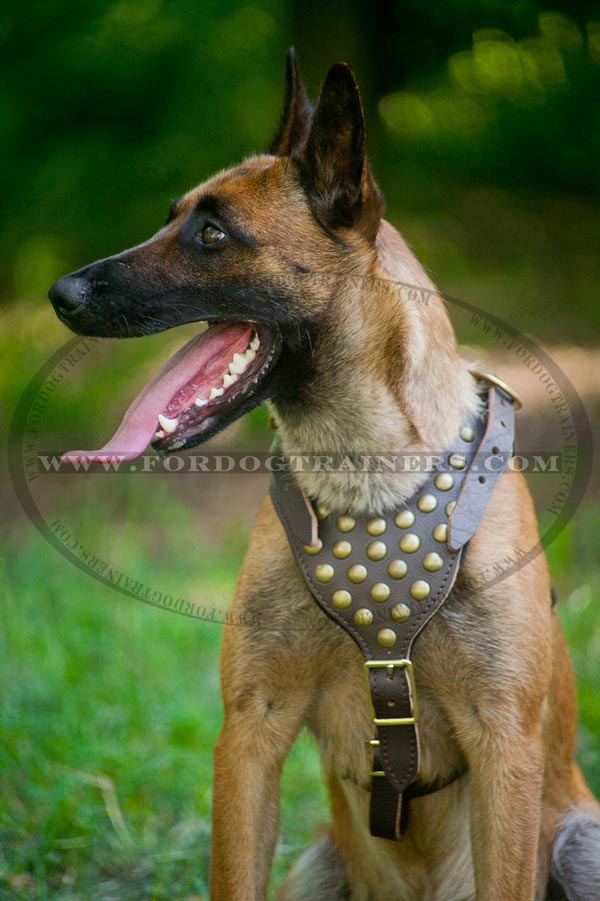 Handcrafted leather walking harness for Malinois