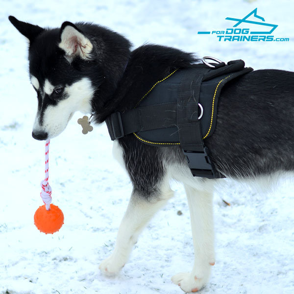 Any Weather Siberian Husky Harness for Best Winter Walking