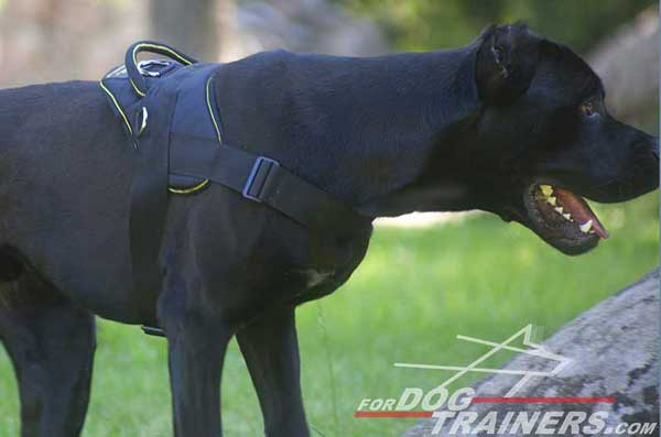 Cane Corso Nylon harness for daily activities