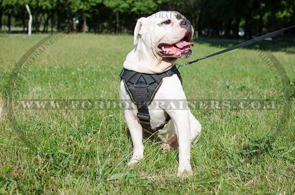 Padded dog harness for American Bulldog