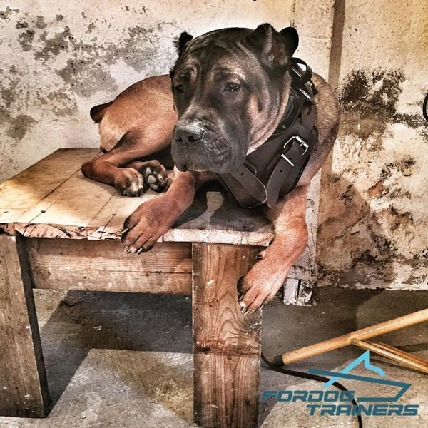 Easy Adjustable Leather Harness for Cane Corso Lily Training