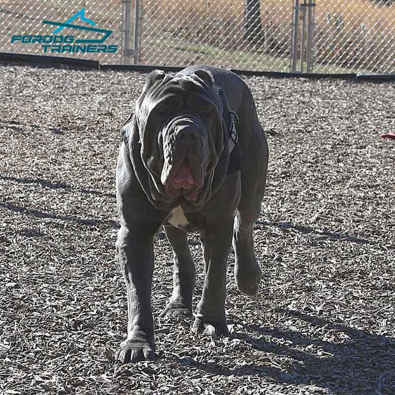 Any Weather Neapolitan Mastiff Harness For Pulling