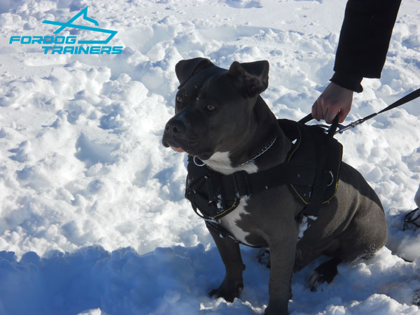 Pitbull harness with comfortable chest plate and handle