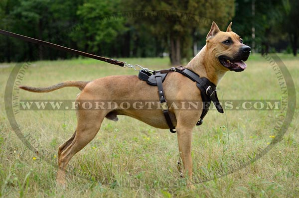 American Pit Bull Terrier Breed Standard Dog Supplies