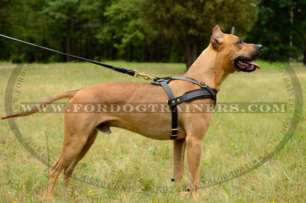 Pulling leather Pitbull harness with extra D-rings on both sides
