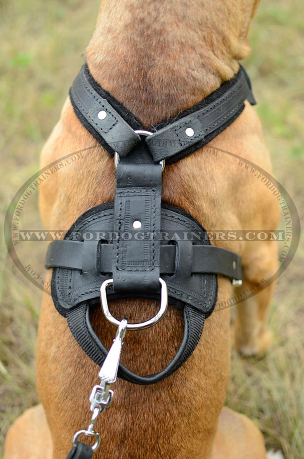 Perfect fit leather Pitbull harness with nickel fittings