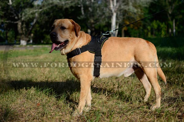 Best pulling nylon Labrador harness with extra D-rings