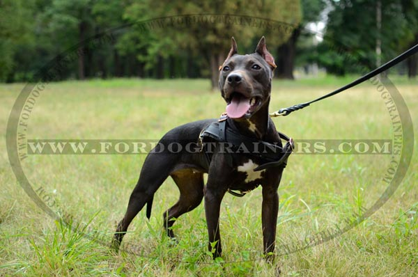 Pulling Pitbull harness with thick felt padded chest plate