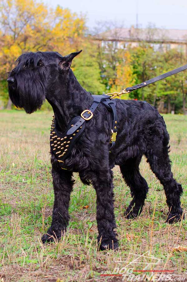 Brass Spiked Leather Harness for Riesenschnauzers