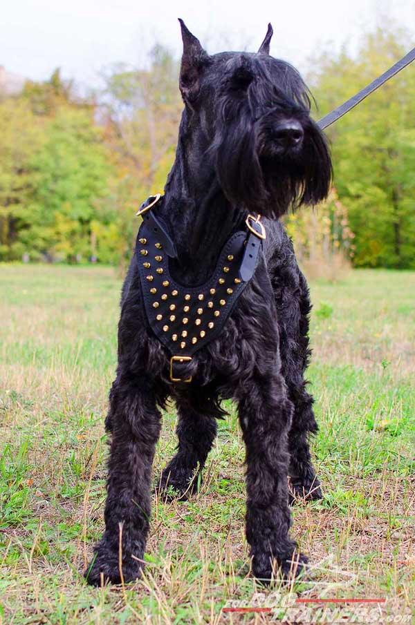 Daily Walking Harness for Risenschnauzers