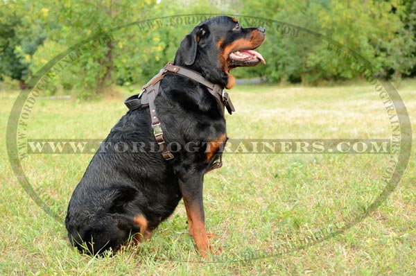 Rottweiler harness with handle for attack training