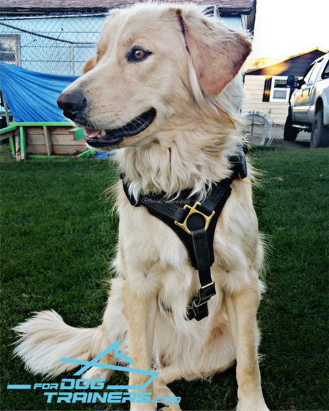 Golden Retriever Harness for Comfortable Sadie's Daily Activity