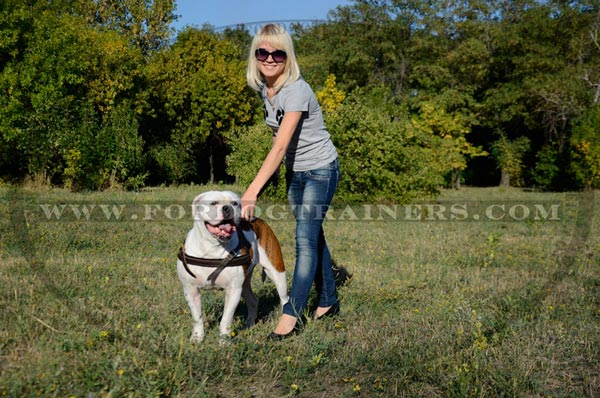 Safe pulling training American Bulldog leather harness