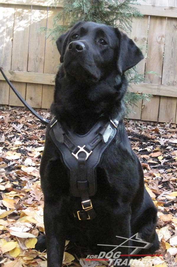 Padded leather Labrador harness stitched for extra durability