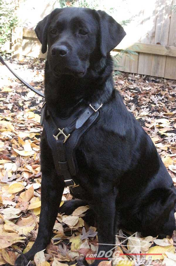 Easy adjustable leather Labrador harness for snug fit