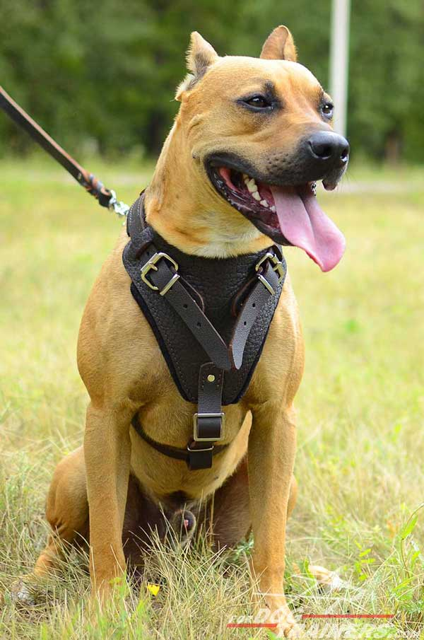 Durable walking leather Pitbull harness with reliable fittings