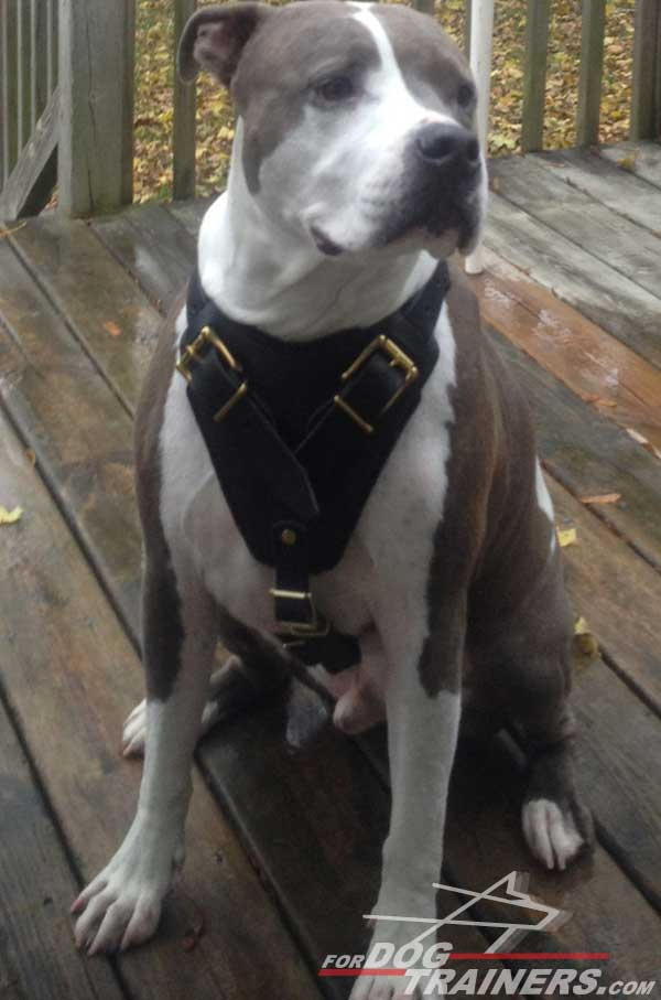 Extra wide padded chest plate for leather Pitbull harness